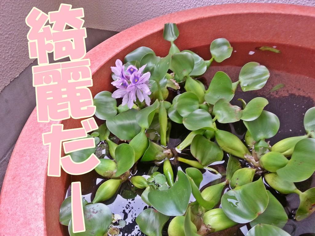 ホテイソウの花