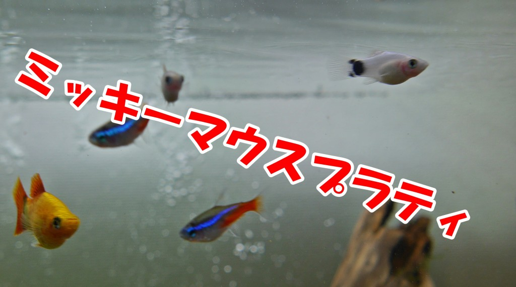 ミッキーマウスプラティ 混泳