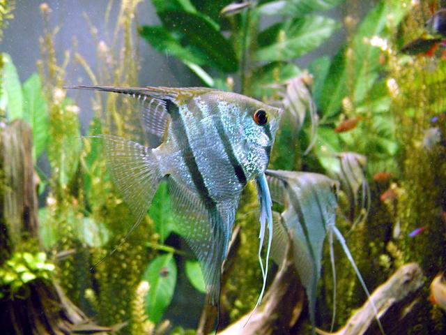 Freshwater_angelfish_biodome
