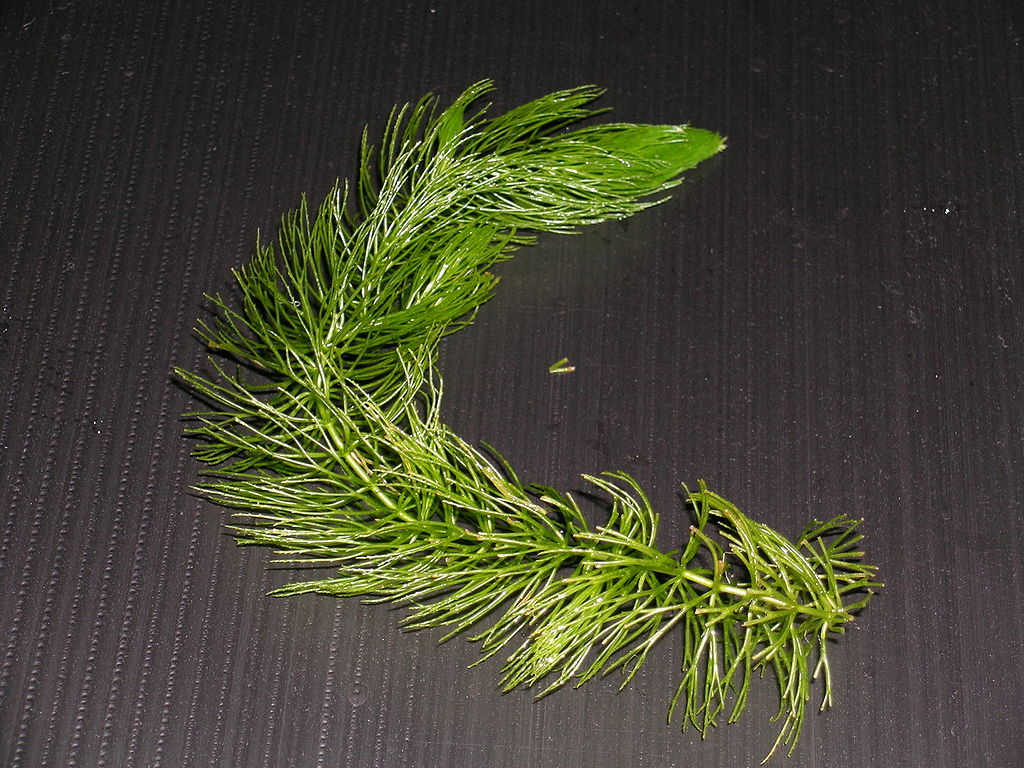 1024px-Ceratophyllum_demersum_var.demersum.