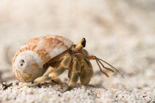 photo credit: {unidentified} hermit crab - Ko Lipe / Thailand via photopin (license)