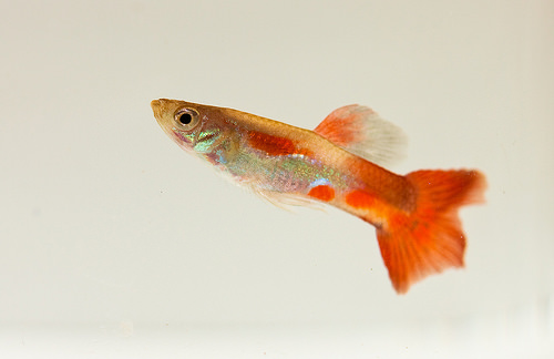 photo credit: Red guppy side via photopin (license)