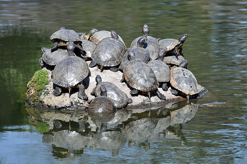 photo credit: Turtles (Kiyosumi Gardens) via photopin (license)