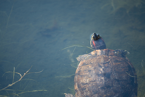 photo credit: A turtle swimming in a pond via photopin (license)