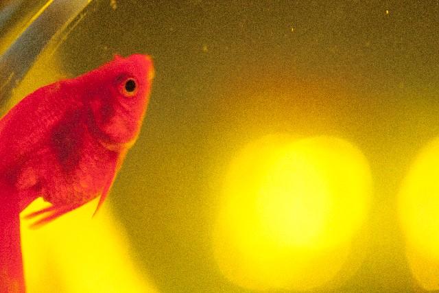 金魚との混泳におすすめの熱帯魚