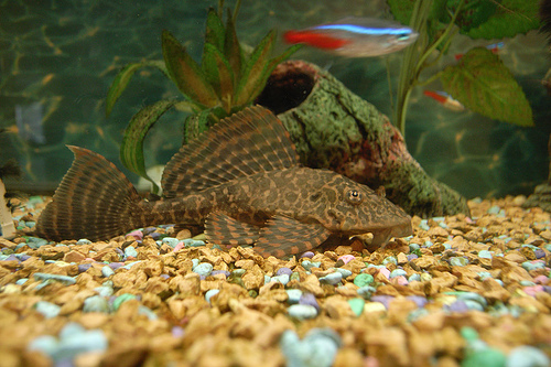 photo credit: Sailfin Pleco #2 via photopin (license)