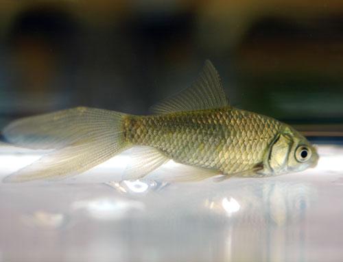 鉄魚 楽天