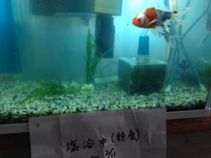 金魚の白点病対策