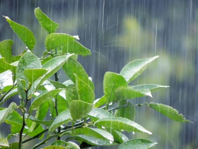 梅雨の葉っぱ f